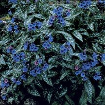 """""""Trevi Fountain"""" Pulmonaria, 12"""" x 18-24"""", cool moist shady spot. Flowers will last up to two months and the leaves are attractive enough to stand out even when not in flower. Pulmonaria like the morning sun best and pair beautifully with ferns,large leaved Hosta and Hydrangea."""