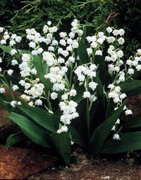 Lily of the ValleyProduces the classic, bell-shaped, fragrant flowers in spring and early summer. They will multiply quickly and will form a dense bed or ground cover even in moist areas where grass won't grow. May not bloom the first year planted. Size: Plant pips.