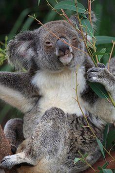hanging around the eucalypt tree
