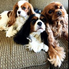 Find Out More On Fun Cavalier King Charles Spaniel Health King Charles Puppy, Cavalier King Charles Dog, King Charles Spaniel, Cavalier King Spaniel, Spaniel Puppies, Poodle Puppies, Dog Care, Best Dogs, Doggies
