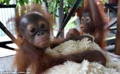 Rescued orphans Noel and Gunung have become the best of friends
