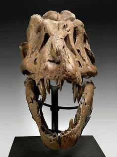 Samson, le T. rex découvert par Alan et Robert Detrich dans le nord-ouest du South Dakota, le 6 10 1992.