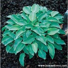 Shades of Green Hostas and Daylilies Hosta Plants, Buy Plants, Shade Plants, Plants For Shady Areas, Blue Hosta, Hosta Varieties, Hosta Gardens, Heuchera, Lavender Flowers