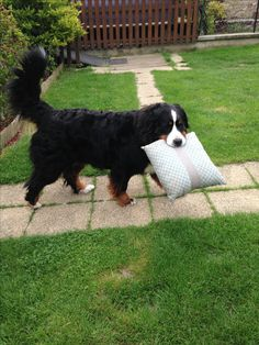 Khaleesy : il faut que je fasse tout !!! Cute Cats And Dogs, Cute Dogs And Puppies, I Love Dogs, Burmese Mountain Dogs, Swiss Mountain Dogs, Cute Dog Memes, Funny Dogs, Cute Dogs Breeds, Dog Breeds