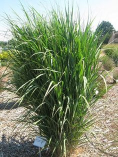 CO-Horts: National Ornamental Grass Trials in Colorado