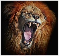 Funny Wildlife — Angola Lion Rage by Klause Wiese Photography Lion Pictures, Animal Pictures, Beautiful Cats, Animals Beautiful, Aigle Animal, Animals And Pets, Cute Animals, Lions Photos, Gato Grande