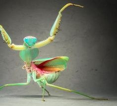 When the praying mantis (Rhombodera basalis) feels threatened, she transforms herself into a kung-fu pose. This species, native to Malaysia, grows to be as much as 10 centimeter.  Image by - Igor Siwanowicz