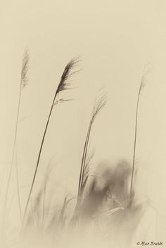 A soft wind from the South blows through the cane ...
