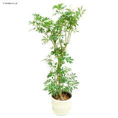 お部屋のインテリアに最適です。ハイドロカルチャーとは土を使わない水耕栽培用に栽培された観葉植物です。【商品コード:9390081】