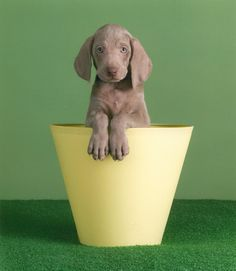 William Wegman, Crow's Nest, 2005