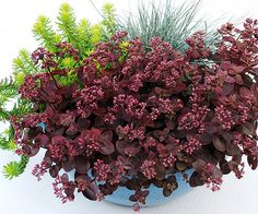 Sedum 'Cherry Tart':  Here is a new sedum that would make an excellent and well-behaved groundcover. It grows 6 inches tall and spreads up to 18 inches. Red leaves and pink flowers. I think this would do well in a permanent container planting, too. Hardy from zones 4 through 9.