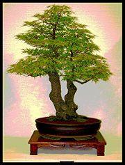 Como preparar un bonsai. Coloca algunas piedrecitas para drenar en el fondo de la maceta.