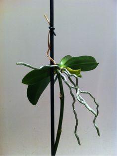 Phalaenopsis orchidee tecniche di coltivazione e for Annette moreno jardin de rosas