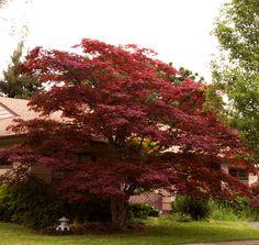 Black Japanese Maple Acer palmatum 'Nigrum'
