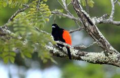 birds of costa rica - male cherries tanager