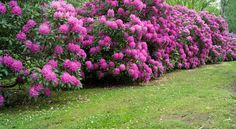 Rhododendron : Conseils d'entretien