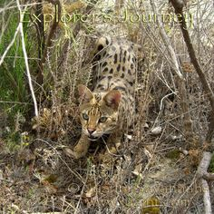 A well camouflaged Capoeira Scissorteeth (F1 Savannah queen), shows off her hunting prowess. Listen to Explorer's Journey.
