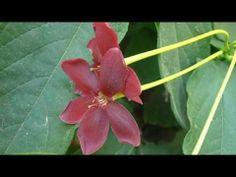 LA CUISCUALIS: Quiscualis indica (http://riomoros.blogspot.com.es/)