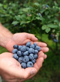 Pick you own Blueberries!!! A must do with our family =D