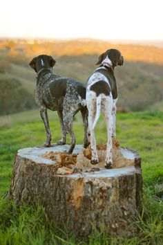 German Shorthaired Pointers, AKA GSP's. Such well tempered dogs!! Half my baby boy is GSP. :)