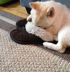 """""""Stinky slipper"""" Shiba"""