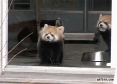 Man scares red panda | Best Funny Gifs and Animated Gifs Updated Daily - Gif Bin