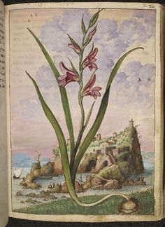 Gladiolus Italicus - Watercolours from a 16th-Century De Materia Medica   The Public Domain Review