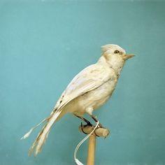 Albino Blue Jay by Diana Brennan