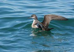Manx shearwater (Puffinus puffinus)