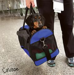 Oakley in his carry bag! #dogs #travel #dogtravel