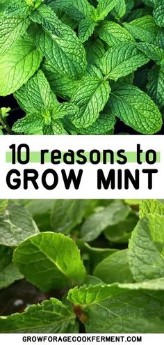 There are many reasons to grow mint in your backyard without fear! It has so many wonderful uses and can be grown without fear of taking over your garden. Learn about how to grow mint in your garden and its many culinary, medicinal, and herbal benefits. Permaculture, Growing Mint, Growing Greens, Mint Plants, Mint Plant Uses, Hydrangea Care, Autumn Garden, Medicinal Plants, Herbal Plants