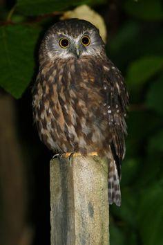 Beautiful Owl, Animals Beautiful, Blue Butterfly Wallpaper, Birds Online, Maori Art, Kiwiana, Little Owl, Bird Art, Natural World