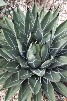 King Ferdinand Century Plant for sale buy Agave nickelsiae