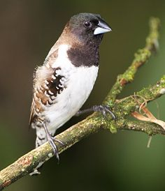 Bronze Mannikin (Estrildidae FINCH) or bronze munia is a small passerine bird - abundant resident breeding bird in much of Africa south of the Sahara Desert of dry savanna habitats