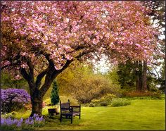 Spring Cherry Blossoms, Great Britain  photo via jody9