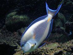 Sohal Tang Fish