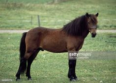 Gotland pony or Gotland russ , Equidae. Pictures | Getty Images