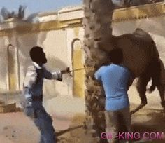 Camels Power