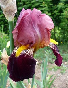 Unknown Cedric Morris iris. Gardenista