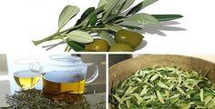 Infuso di foglie di ulivo: un antico rimedio antibiotico | Rimedio Naturale