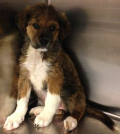Hera and siblings are 4 owner surrender golden puppies who were part of an accidental litter and surrendered to insure they were vaccinated and altered before finding their forever homes. There are both boys and girls.They will be dewormed, flea and...