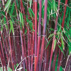 Umbrella Bamboo 'Asian Wonder' New in 2015 Umbrella Bamboo are easy to grow and quick to fill out, making them a top foliage choice for privacy screening and blocking road noise and traffic pollution. Clump forming Fargesia 'Asian Wonder' is even more of a treat, with ruby red stems and olive green foliage giving it an incredibly tropical appearance. As the canes mature, strip some of the lower foliage away to show off the highly decorative stems. A top architectural plant for ad