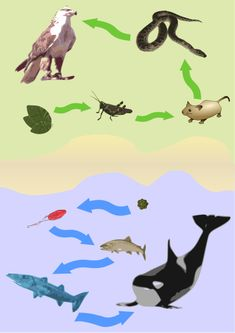 Examplatory drawing for the concept of the food chain.