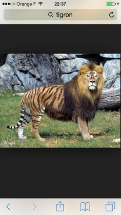 Croisement entre un tigre et un lion sa s'appelle un tigron sa existe vraiment !!!!