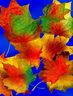 ✯ Multi Color Autumn Leaves