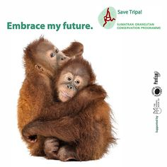 Maya and Herkules need a hug!  The Tripa Peat Swamps is home to magnificent orangutans like Maya and Herkules. Their home is burning at the hands of palm oil companies and they need your help to stop the fires and save his home.  Help sign and share the petition, never underestimate the power of your friends!!  Petition www.change.org/savetripa