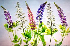 Flower Photography Pink Blue Lupins Matted by SoulCenteredPhotoart, $42.00