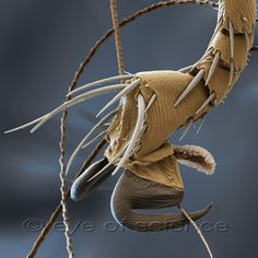 Cat Flea Ctenocephalides Felis Under Scanning Electron