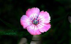 #focus su #fiore #rosa