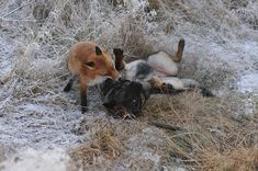 Surprising friendship between Tinni the dog and Sniffer the wild fox in Norway. Photo by Torgeir Berge.
